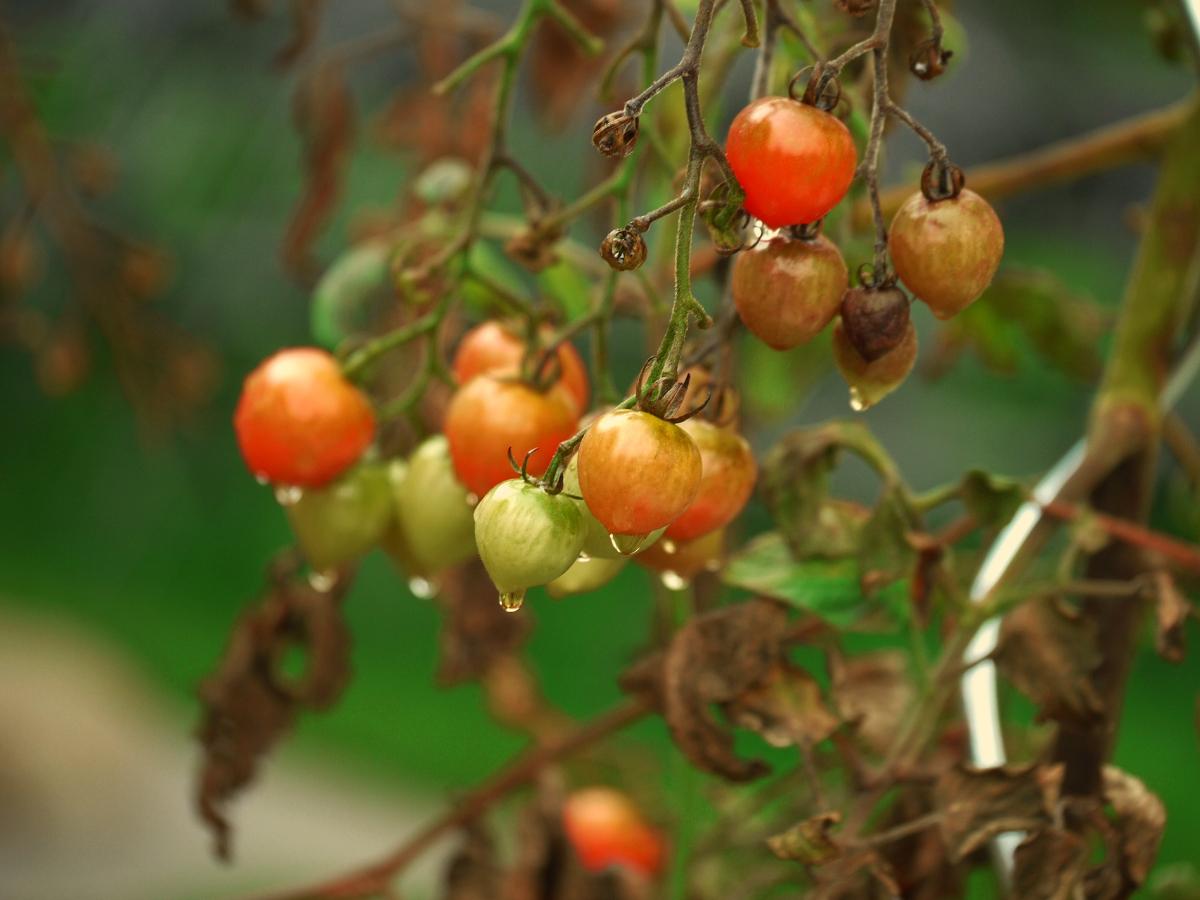 Tomaten – Regen
